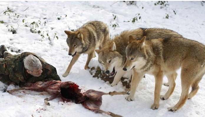 纳粹德国造狼女-,自那时起,他共饲养过70余只各种品种的狼,目前这个保护区共有29